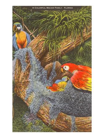 Macaws, Florida Poster
