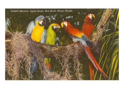 Macaws, Miami, Florida Print