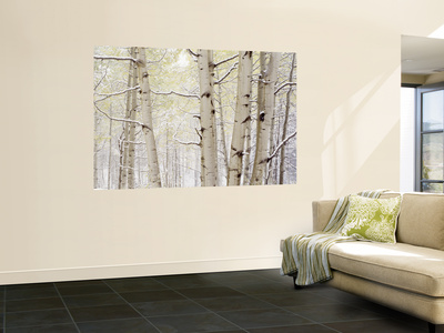 Autumn Aspens with Snow, Colorado, USA Reproduction murale géante