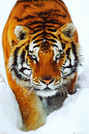 Tiger Snow Affiche