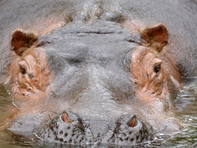Hippopotamus Face Close-Up Surfacing from Water. Captive, Iucn Red List of Vulnerable Species Photographic Print by Eric Baccega