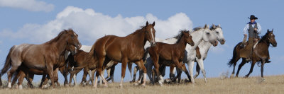 Cowboy Herding Quarter Horse Mares and Foals, Flitner Ranch, Shell, Wyoming, USA Photographic Print by Carol Walker