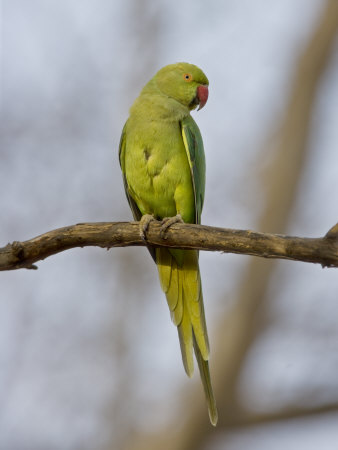 Rose Ringed Ring-Necked Parakeet Perched, Ranthambhore Np, Rajasthan, India Photographic Print by T.j. Rich
