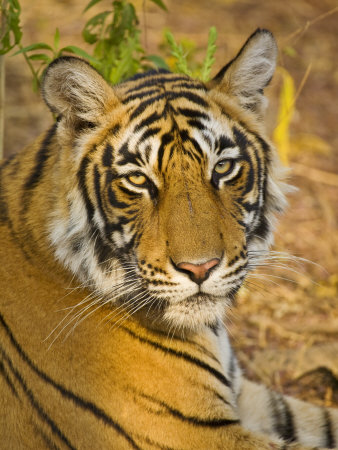 Bengal Tiger Resting Portrait, Ranthambhore Np, Rajasthan, India Photographic Print by T.j. Rich