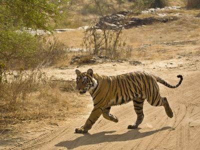 Bengal Tiger Hunting, Ranthambhore Np, Rajasthan, India Photographic Print by T.j. Rich