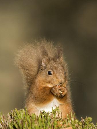 Red Squirrel Feeding, Cairngorms, Scotland, UK Fotografisk tryk af Andy Sands