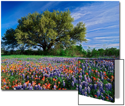 Live Oak, Paintbrush, and Bluebonnets in Texas Hill Country, USA Prints by Adam Jones