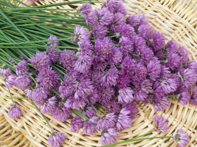 Chive Flowers in a Basket (Allium Schoenoprasum) Photographic Print by Wally Eberhart