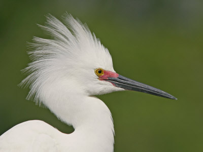 Snowy Egret in Breeding Plumage Showing its Head Display, Egretta Thula, Southeastern USA Photographic Print