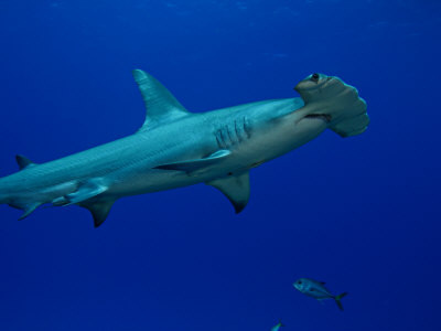 Great Hammerhead Shark (Sphyrna Mokarran), Bahamas Photographic Print