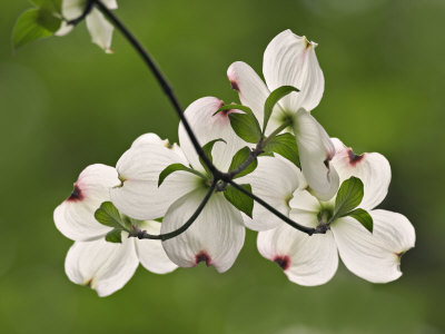 Flowering Dogwood Flowers, Cornus Florida, Louisville, Kentucky, USA Photographic Print