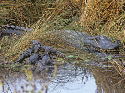 Female Alligator with Young Photographic Print by Rick Poley