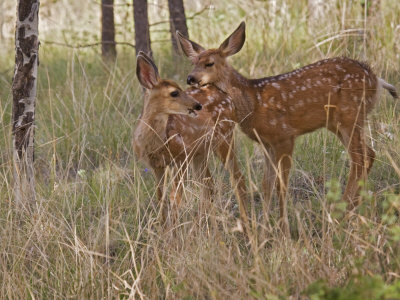 Mule Deer Fawns (Odocoileus Hemionus) in a Mountain Meadow, Pike National Forest, Colorado, USA Photographie