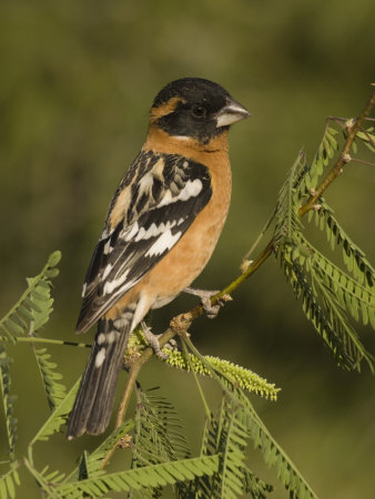 Black-Headed Grosbeak Male (Pheucticus Melanocephalus) on a Mesquite Tree, Arizona, USA Photographic Print