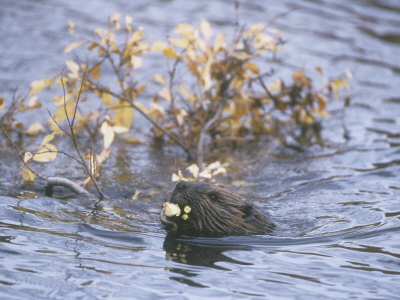 Beaver Swimming with Recently Cut Branch Gathered for Food (Castor Canadensis), North America Fotografiskt tryck