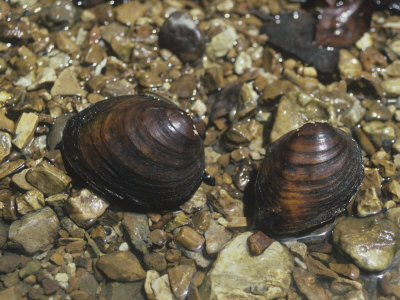 Round Pig Toe Mussel (Pleurobema Coccineum), a Freshwater Species, Central USA Photographic Print by Richard Thom