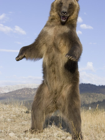 A Grizzly Bear Standing Upright, Ursus Arctos, North America Photographic Print