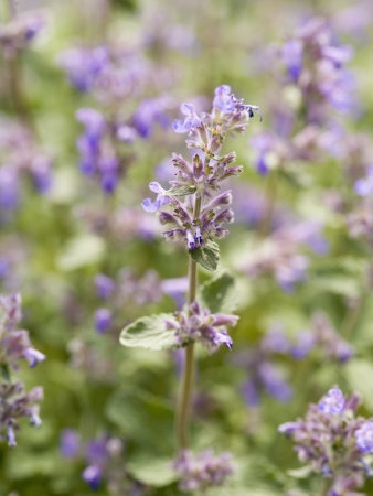 Catmint Photographic Print