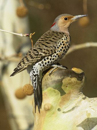 Female Northern or Red-Shafted Flicker in a Sycamore Tree (Colaptes Auratus), North America Photographic Print by Steve Maslowski