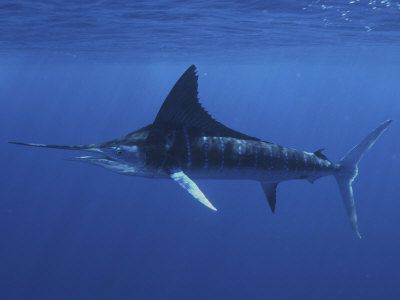 A Striped Marlin (Tetrapturus Audax), Magdalena Bay, Baja California, Mexico Lámina fotográfica