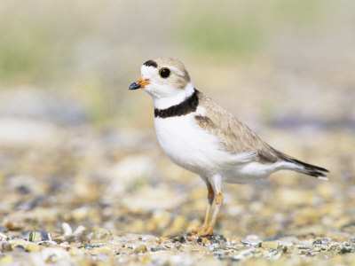 Piping Plover Photographic Print by Steve Maslowski