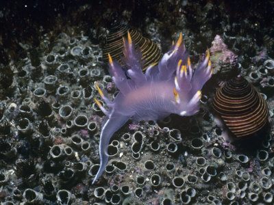 Nudibranch, Dendronotus Diversicolor, California, Usa, Pacific Ocean Photographic Print