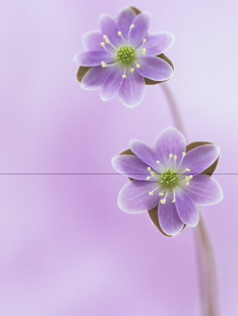 Hepatica Flowers (Hepatica Americana), Eastern USA Photographie