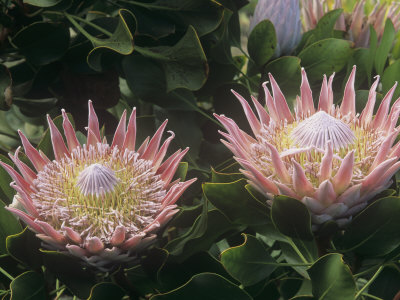 King Protea Flowers, Protea Cynaroides, . Protea Flowers are the National Flowers of South Africa Photographic Print by Adam Jones