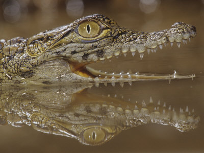 Young Nile Crocodile Showing its Eye and Teeth, Crocodylus Niloticus, . East and Central Africa Photographie