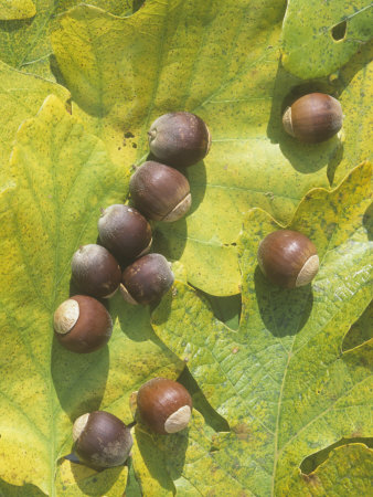 White Oak Tree Acorns and Leaves (Quercus Alba), North America Photographic Print