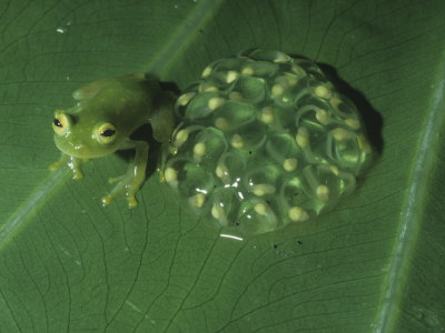Glass Frog (Centrolenella Prosoblepon) with Eggs on a Leaf, Central America Lmina fotogrfica