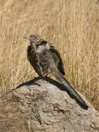 Greater Roadrunner (Geococcyx Californianus) Sunbathing on a Rock, Arizona, USA Fotografie-Druck