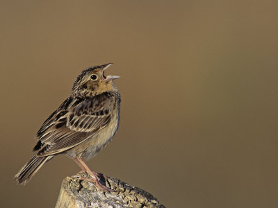 Grasshopper Sparrow (Ammodramus Savannarum) Singing, Eastern USA Photographic Print