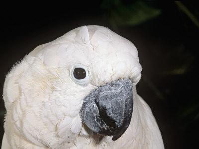 Umbrella or White-Crested Cockatoo Head, Cacatua Alba, Polynesia Photographic Print by Joe McDonald