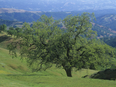 Oak Woodland, Quercus, and Grassland in the Coast Ranges of California, USA Photographic Print by Adam Jones