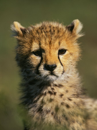 Cheetah Cub, Acinonyx Jubatus, Masai Mara Game Reserve, Kenya Photographic Print by Adam Jones
