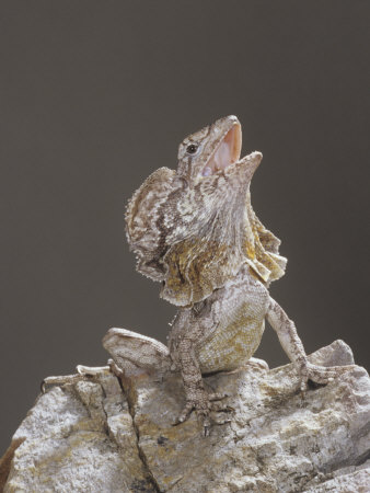Frilled Lizard, Chlamydosaurus Kingi, Display Photographie