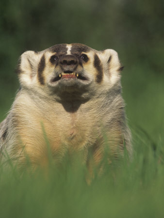 Badger Snarling, Taxidea Taxus, North America Photographic Print