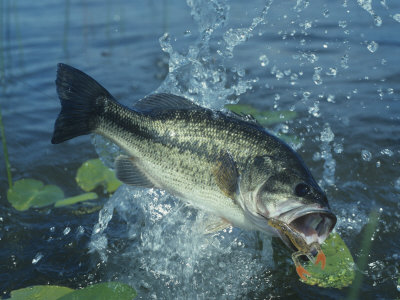Largemouth Bass Surfacing with a Lure in its Mouth Photographic Print by Wally Eberhart