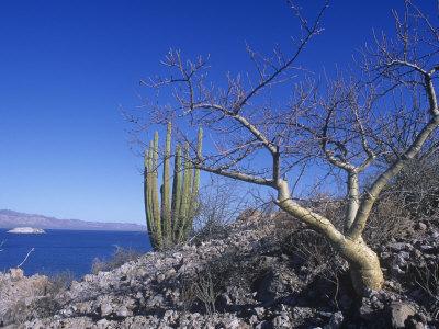 Elephant Tree or Torote, Bursera Microphylla, Sea of Cortez, Baja California, Mexico Photographic Print by David Matherly