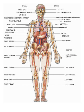 Female Internal Organs Diagram http://www.allposters.com.au/-sp/Human-Female-Anatomy-with-Major-Organs-and-Structures-Labeled-Posters_i6016629_.htm