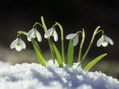 Snowdrop Flowers Blooming in the Snow, Galanthus Nivalis Lámina fotográfica
