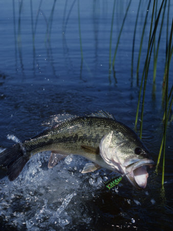 Largemouth Bass with Surface Lure Jumping Photographic Print by Wally Eberhart
