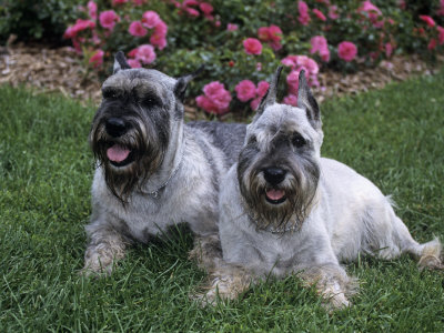 Adult schnauzer needs ...