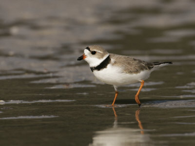 Piping Plover, Charadrius Melodus, an Endangered Species, North America Photographic Print by John Cornell
