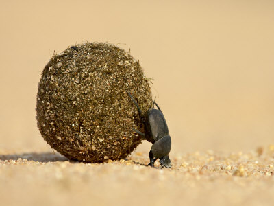 Dung Beetle Pushing a Ball of Dung, Masai Mara National Reserve, Kenya, East Africa, Africa Photographic Print by James Hager