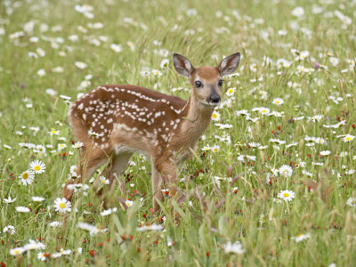 Whitetail Deer Fawn Among Oxeye Daisy, in Captivity, Sandstone, Minnesota, USA Photographie