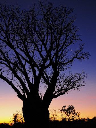 Silhouette of Boab Tree and Moon, Kimberley, Western Australia, Australia, Pacific Photographic Print by Schlenker Jochen