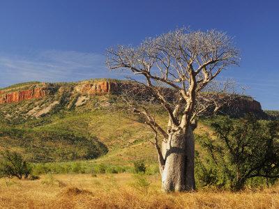 Boab Tree and Cockburn Ranges, Kimberley, Western Australia, Australia, Pacific Photographic Print by Schlenker Jochen