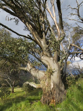 Snow Gum, Kosciuszko National Park, New South Wales, Australia, Pacific Photographic Print by Schlenker Jochen